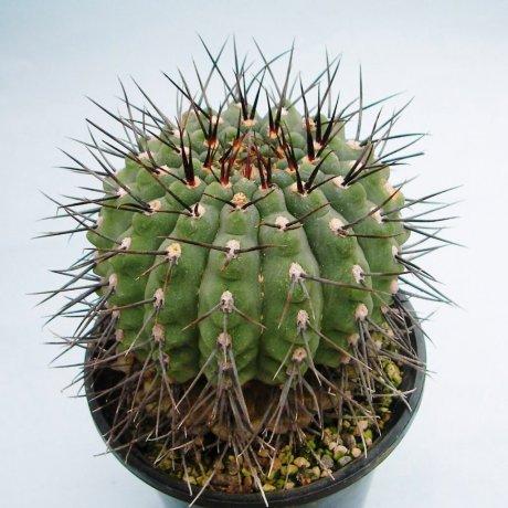 Sany0209--ochoterenae v varispinum--ex mrk