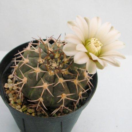 Sany0026--riojense ssp kozelskyanum v sanjunense--STO 92-556-1--west of Valle Fertil San Juan--ex Milena