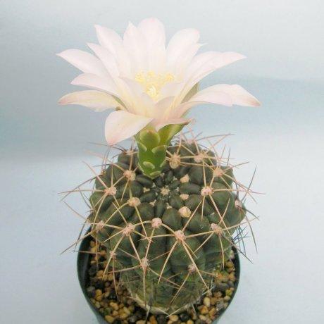 Sany0123--rosanthemum--Piltz seed 1459