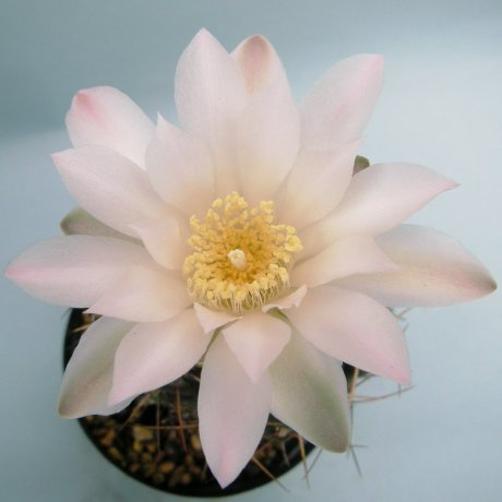 Sany0125--rosanthemum--piltz seed1459