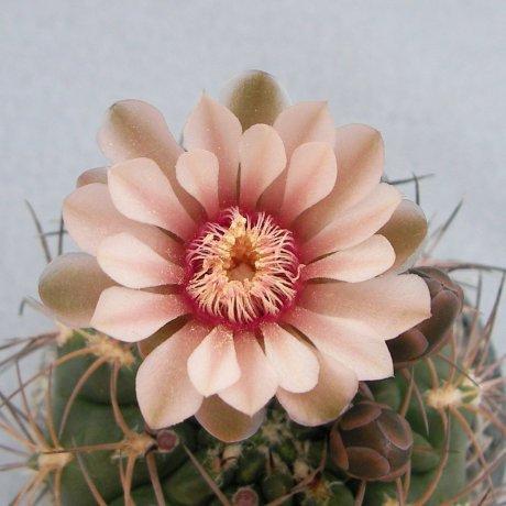 Sany0088-rhodantherum--STO 67--pink yaku--Milena