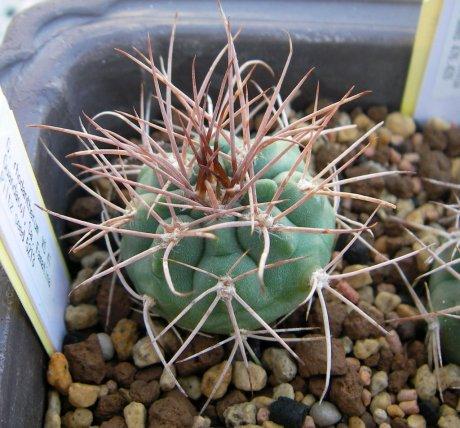 Sany0187-rhodantherum-VS41--Guandacol La Rioja 1200m-Piltz.seed.5213