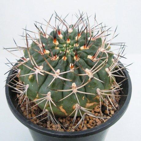 Sany0039--rhodantherum-southern Famatina--Piltz seed.3552