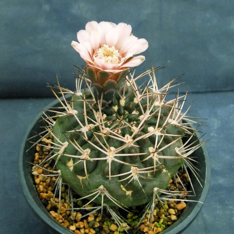Sany0206- rhodantherum-Piltz seed 3552