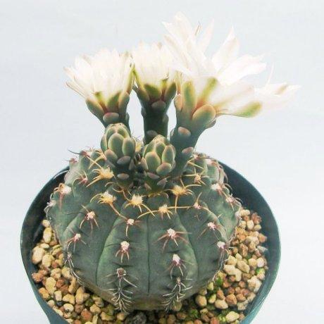 Sany0121--stellatun f costatum--STO 416-3--Bosque Alegre Cordoba---CCB seed CB-010767
