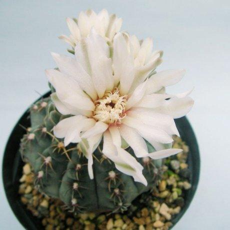 Sany0123--stellatum f costatum--STO 416-3--CCB seed