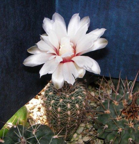 Sany0064-G. papschii-LF 97-Loma Bola 900m Cordoba---CCB seed--CB 011752