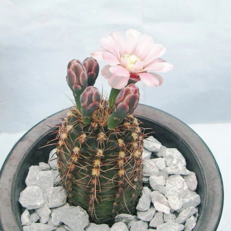 Sany0081--erinaceumm v paucisquamosum--P 400--Piltz seed