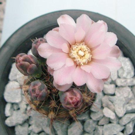 Sany0083--erinaceum v paucisquamosum--P 400--Piltz seed