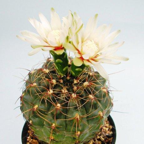 Sany0086--erinaceum v paucisquamosum--LB 1130--Piltz seed 3154
