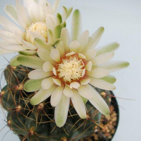 Sany0088--erinaceum v paucisquamosum--LB 1130--Piltz seed 3154
