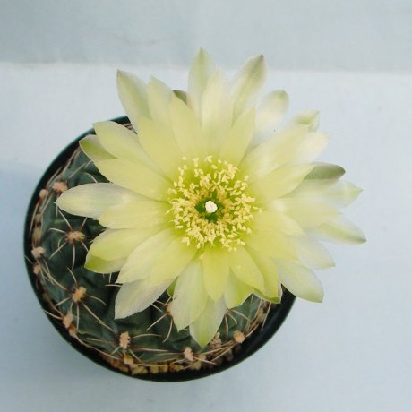 Sany0135--hyptiacanthum--WD 1--Piltz seed 1135