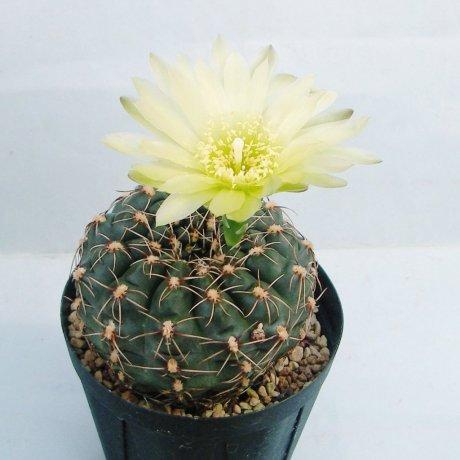 Sany0133--hyptiacanthum--WD 1--Piltz seed 1135