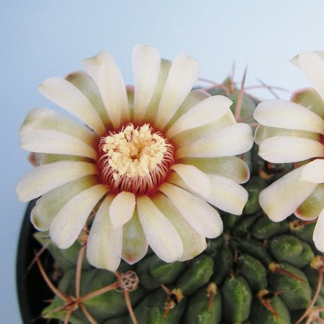 Sany0198--catamarcense v ensispinum--STO 135-5--Amerhauser seed--ex Tutiya