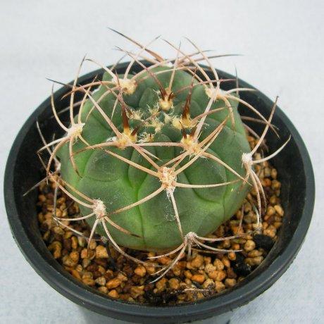 Sany0161-G. nigriareolatum v. densispinum-P 24-Eden 13234