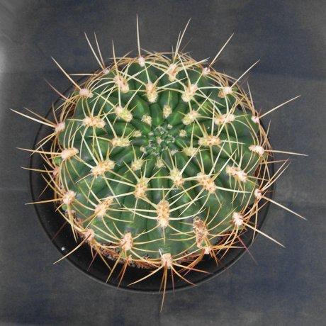 Sany0026--monvillei v grandiflorum--VS 154--Mesa seed