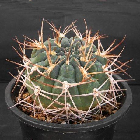 Sany0139-G. catamarcense ssp. acinacispinum-STO 45-Millena Audisio-