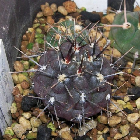 Sany016a- G. gibbosum ssp. radekii-JPR 70-157-Piltz seed 4624