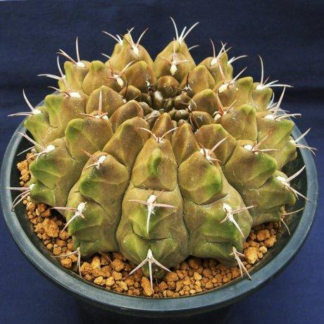 Sany0381-rotundicarpum-iwamoto-kennichi.jpg