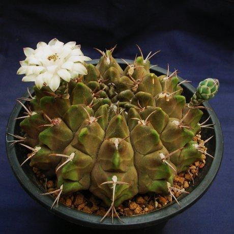Sany1257-rotundicarpum.jpg
