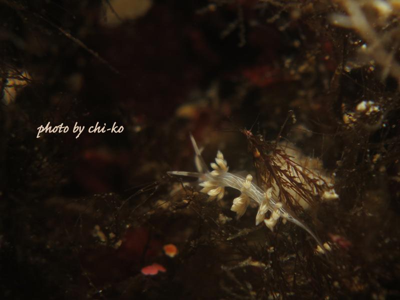 f17-6月28日2本目ハクセンミノウミウシ