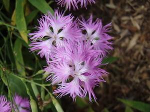 キク科のお花
