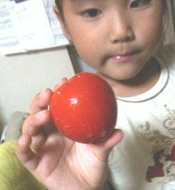 ガッコウで育てているトマトが大きく実りました。