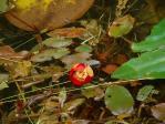 赤いコウホネの花
