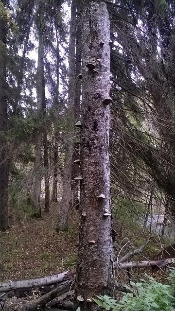 キノコのなる木