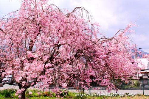 しだれ桜03