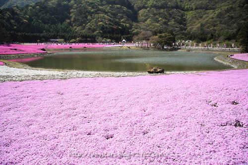 龍神池と芝桜01