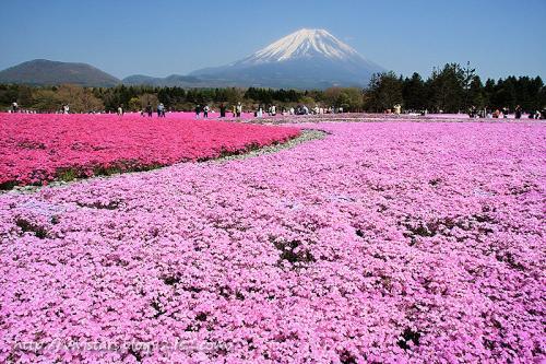 富士山と芝桜03