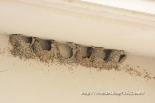 イワツバメの古い巣