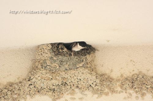 イワツバメの巣02