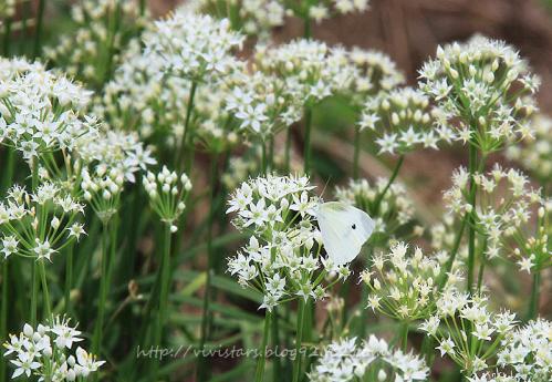 ニラの花とモンシロチョウ