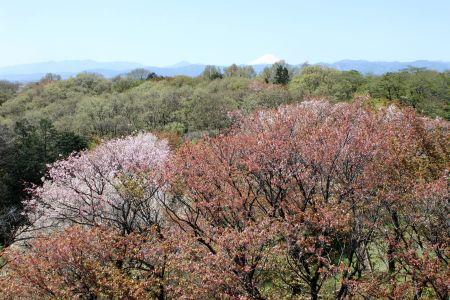 展望台より富士山とヤマザクラ