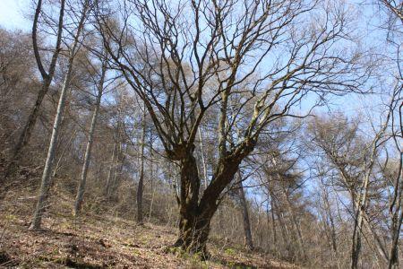 イタヤカエデ巨木