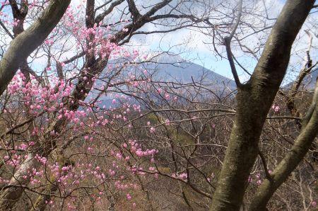 アカヤシオと男体山