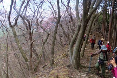 アカヤシオ咲く斜面