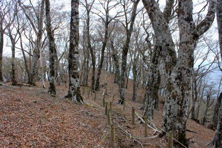 石棚山稜のブナ林