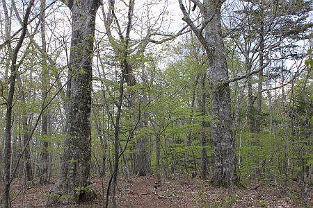 ブナクリ巨木林