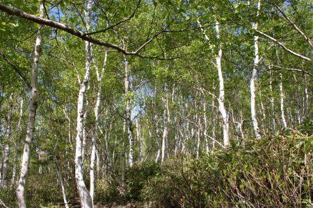 シラカバ林の新緑