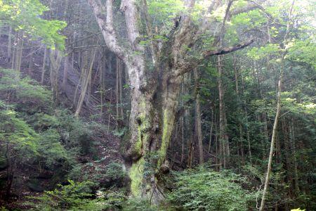 トチノキ巨樹