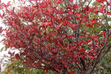 サラサドウダン紅葉