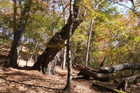 ミズナラ巨樹