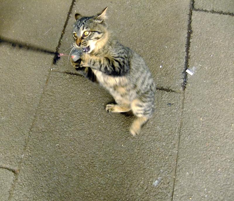 必死の形相でネズミを捕まえるネコ