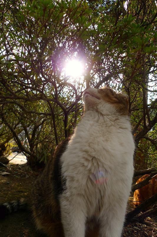 太陽を振り返るネコ