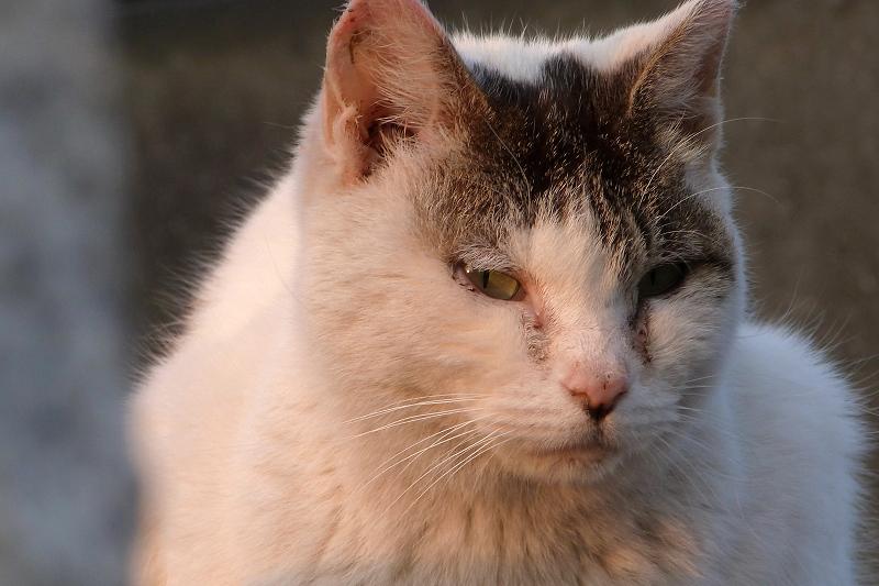 夕陽を受けて佇むネコ