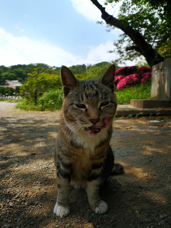 庭園のベロ出しネコ