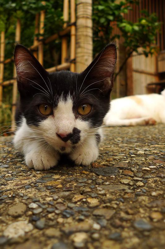 腹ばってるネコのローアングル